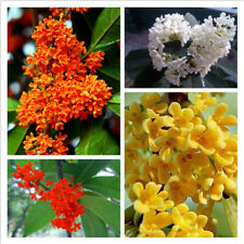 10seeds Osmanthus Fragrans Sweet Olive Seeds Small Bloom Aroma Flower Bonsai