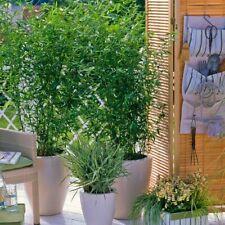 Bamboo Plant, Nigra Black
