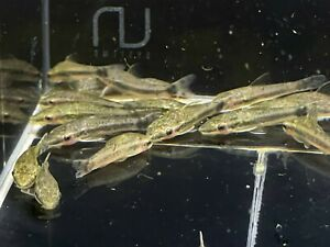 Aqua Huna Otocinclus Catfish - 6 pack