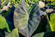 Live Black Marble Taro Tropical Marginal Aquatic Pond/Bog Plant