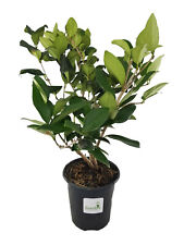 Ligustrum Lucidum ~Lot of 6~ Gallon pots