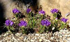 Grassy Bells- 25 Seeds
