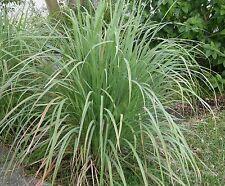 Lemongrass-4 Rooted Plants-Cymbopogon citratus-Citronella-Aromatic Ornamental