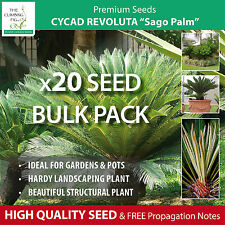 "BULK Cycad Revoluta ""Sago Palm"" Seeds. Freshly harvested seeds of popular Cycad!"