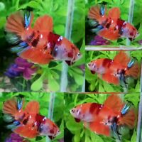 Nemo Galaxy S3 Halfmoon Plakat Male - IMPORT LIVE BETTA FISH FROM THAILAND