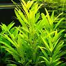 Hygrophila Lacustris Bunch Gulf Swampweed B2G1 Live Aquarium Plant Decorations