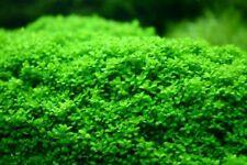 6 (six) Pots of Hemianthus callitrichoides (Cuba) - Aquatic Carpet Plant