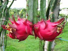 Dragon Fruit (Pitahaya) live plant.  Organically grown. [SALE]