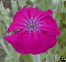 Rose Campion Lychnis Coronaria 50+ seeds silver foliage