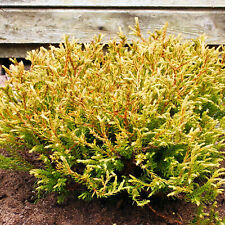 Thuja occidentalis 'Golden Tuffet' White Cedar Evergreen Conifer Plant | 9cm Pot