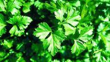 1000 GRAINES DE PERSIL PLAT Géant d'Italie Herbe Aromatique Plante Condiment