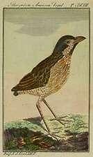 Oiseaux-Grand fourmis oiseau-BUFFON-kolorierter kupfstich 1780