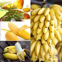 100pcs Dwarf Banana Tree Seeds Mini Bonsai Plant Exotic Rare Fruits Garden Home