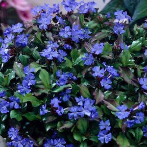 Hardy Plumbago-Ceratostigma plumbaginoides Plant in 9 cm Pot