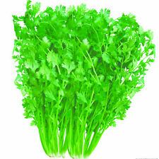 American seed Quarantie Cilantro Herb Seed Vegetable High Yield Fruitful Garden