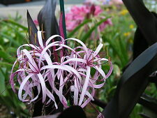 Crinum Lily, procerum 'Purple Prince' small-size NEW