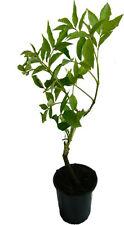 Schwarzer Holunder - Korsor - Pflanze neue Plantagensorte mit großen Früchten