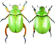 Insect - Chrysina macropus - Mexico - Pair 35mm+ ....!!
