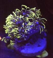 Green Star Polyp (GSP) Soft Coral - Marine reef Frag WYSIWYG