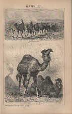 Litografía 1894: camellos. I. II. dromedario trampeltier lama alpaca guanaco vicuna