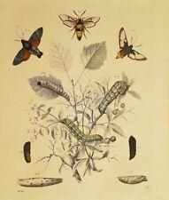 FARFALLE LEPIDOTTERI BRUCHI 1848 INSETTI ENTOMOLOGIA ENTOMOLOGY BUTTERFLIES