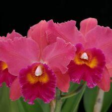 Fragrant! ~ Cattleya Orchid ~ Blc. Volcano Delight 'Volcano Queen'