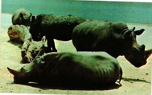 Vintage Postcard - Pack Of Massice Rhinoceros 6 Feet Tall & 15 Feet Length #6903