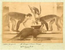 Singes capucins, musée d'histoire naturelle Vintage albumen print
