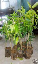 "Hybrid Dwarf Sweet ""Mallika"" , ( Grafted ) mango plant  - 1 Healthy Live Plant"