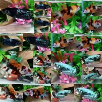 Nemo Black Sorority Halfmoon Plakat Female-IMPORT LIVE BETTA FISH FROM THAILAND