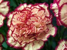 Pink Carnations Premium Grade Fragrance Oil 2 oz