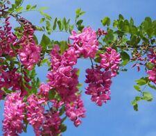 Rose Pink Locust Tree Seed 20 fresh seeds