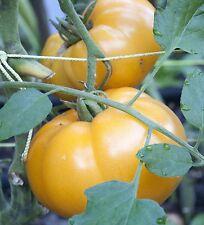 Yellow Brandywine Tomato Seeds- Heirloom- 75+  2016    $1.69 Max Shipping/order