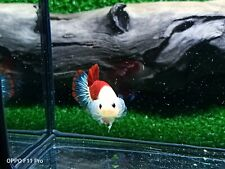 Betta live fish Hmpk Male Koi Peacock Top Grade