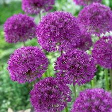 Allium Purple Sensation- 5 Bulbs -Deer resistant, returns yearly, Now Shipping!!