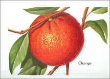 IMAGE CARD Orange agrume fruit oranger Citrus × sinensis plant Plante 60s