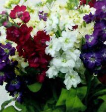 20 MATTHIOLA 'MIRACLE MIXED' - 10 WEEK STOCKS - MINI PLUG PLANTS