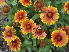 Seeds GAILLARDIA GOBLIN BLANKET FLOWER 10 X Big Flowers EZ BLOOMER COMBS/H GIFT+
