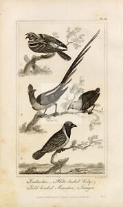 ANTIQUE Natural History Print - Goatsucker, Coly, Manakin, Tanager Birds #F13
