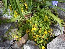 lysimachia nummularia plante bassin ou jardin ,10 tiges