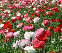 POPPY SHIRLEY DOUBLE MIXED COLORS Papaver Rhoeas - 15,000  Bulk Seeds
