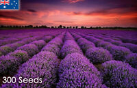 True English Lavender 300 Seeds Lavandula Angustifolia Rare