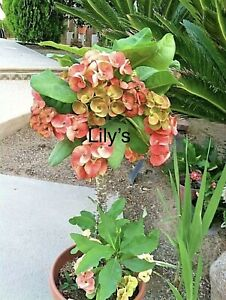 Euphorbia Milii -Crown of Thorns Succulent Thai Hybrid - First Lady