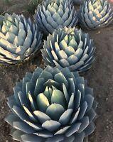 Artichoke Agave Parryi var truncata Specimen-grade live succulent plant cactus
