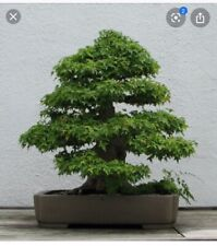 Trident Maple Seeds Bonsai (Acer Buergeranum) Lot Of 20+
