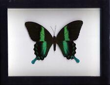 Papilio blumei Butterfly in a Frame