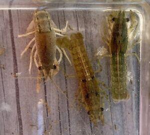 "2 LIVE BRAZOS / CAJUN DWARF CrawlFish Sm 1""- 2"" Crayfish Fish Lobster Fun Pets"