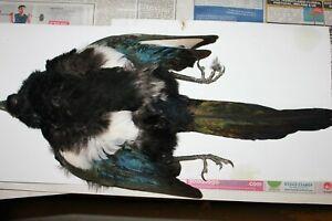 Magpie (Full Skin)