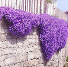 220pcs Bag Cascade Purple Aubrieta Flower Seeds Perennial Ground Cover Romantic