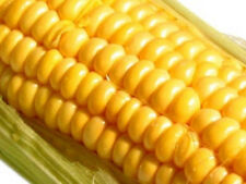 32g Golden Bantam Improved Corn Seeds 120 Ct ~Sweet Early ~Long Ears  Storing